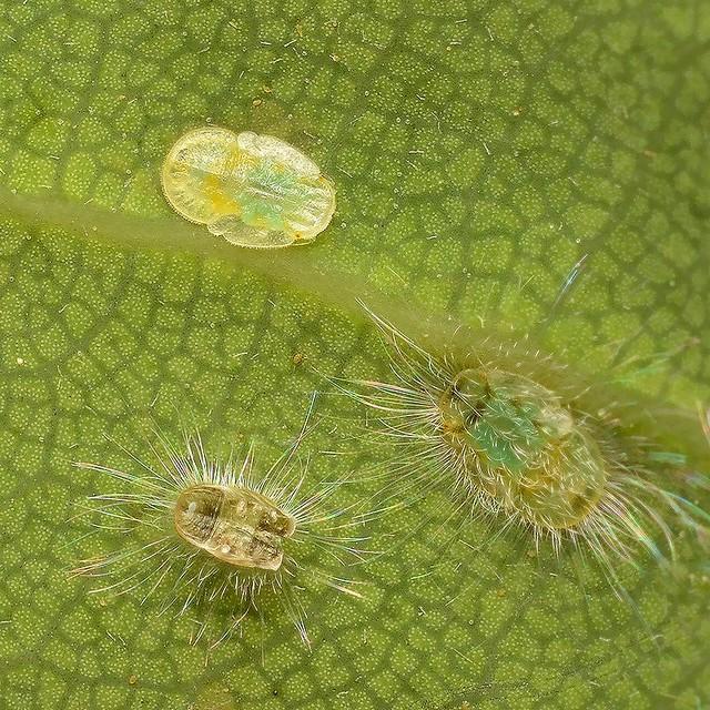 71 シラカシトガリキジラミ(幼虫2)