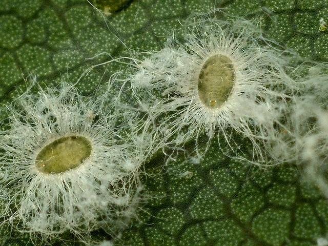 728 ワタフキコナジラミの1種の蛹殻