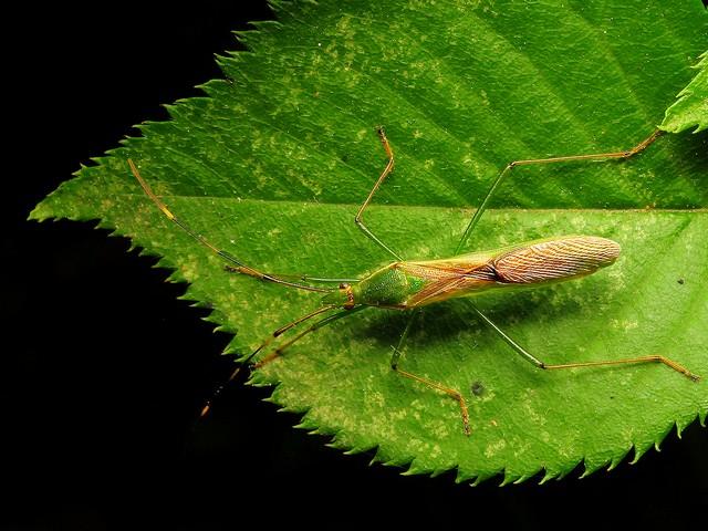 07 クモヘリカメムシ