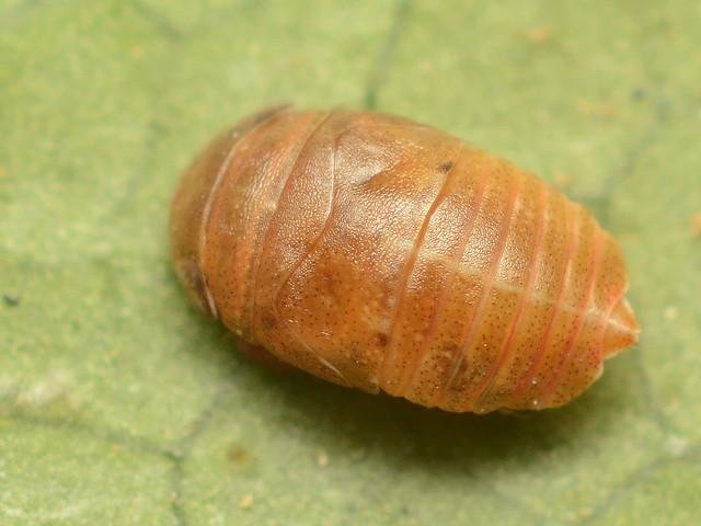 40 クロヒラタヨコバイ(幼虫)