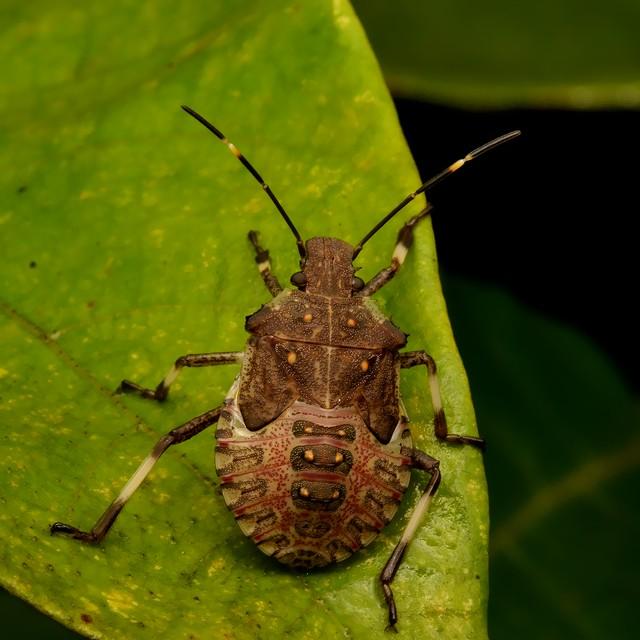 04 クサギカメムシ(5齢幼虫)