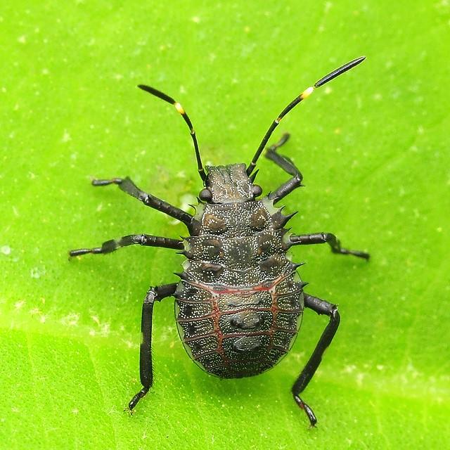04 クサギカメムシ(3齢幼虫)