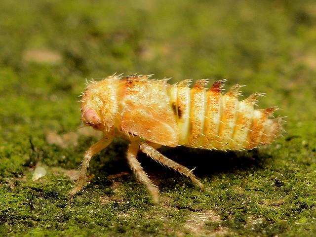 38 ハトムネヨコバイの一種の幼虫