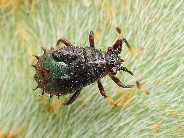 145 メダカナガカメムシ(幼虫)