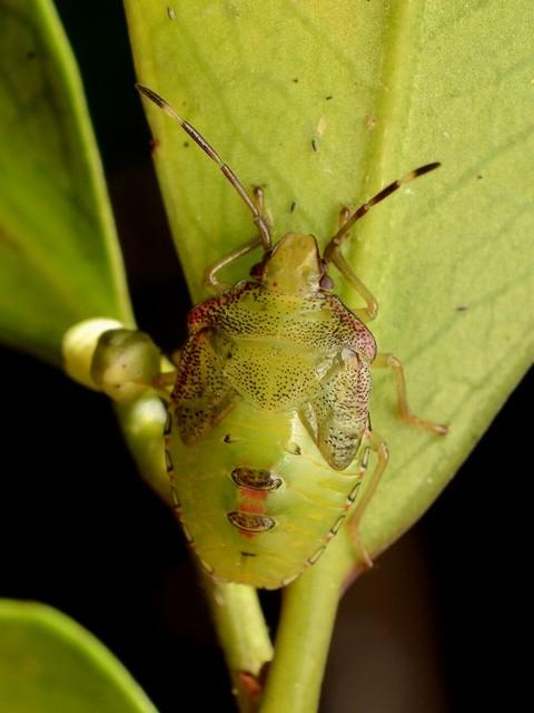 05 モンキツノカメムシ(幼虫)
