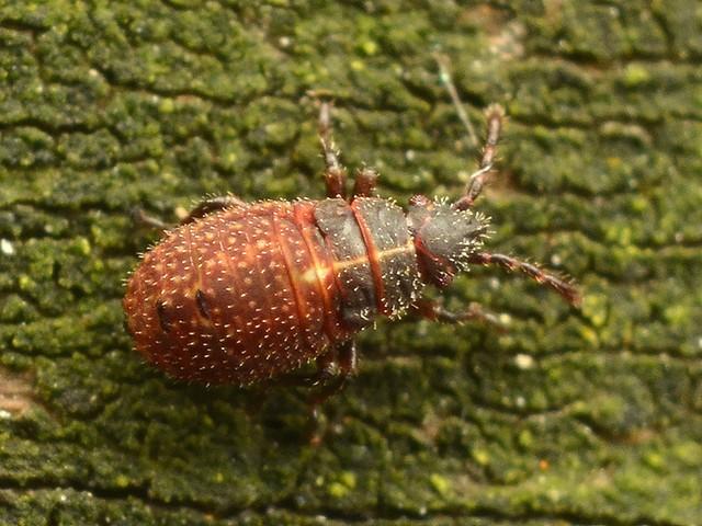 08 イシハラナガカメムシの幼虫