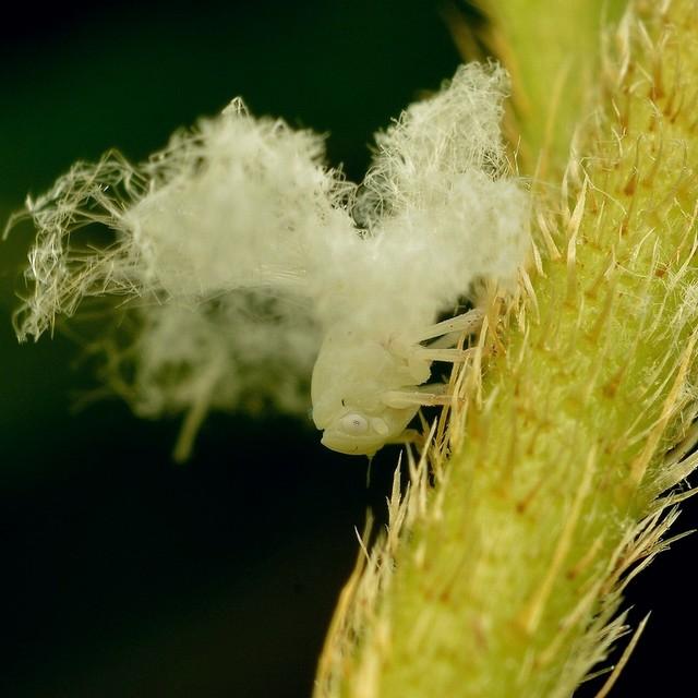59 オオシラホシハゴロモ(幼虫)