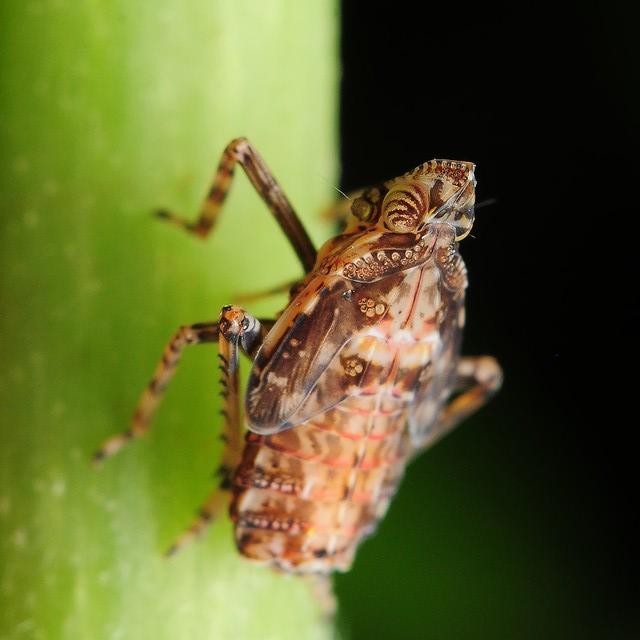 51 ツマグロスケバ(幼虫)