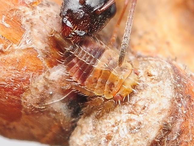 35 ツノゼミの一種の幼虫