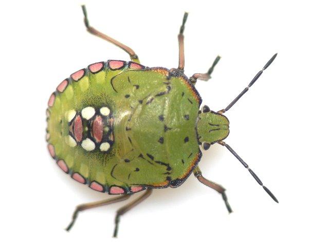 04 アオクサカメムシの幼虫