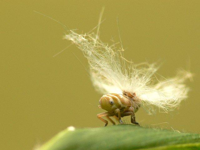 59 アミガサハゴロモの幼虫
