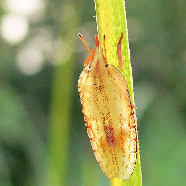 04 エビイロカメムシの幼虫