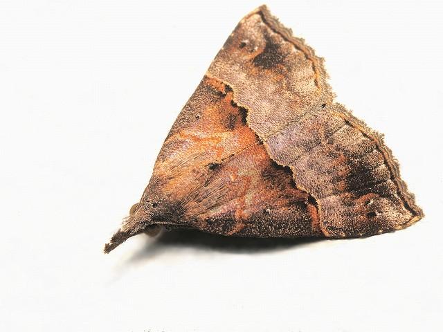 116 トビモンアツバ(夏型)
