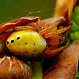 27 ムツボシオニグモ