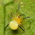 21 ニホンヒメグモの幼体