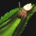 29 コシロカネグモ