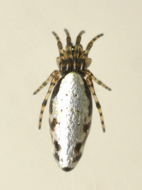 27 クマダギンナガゴミグモ