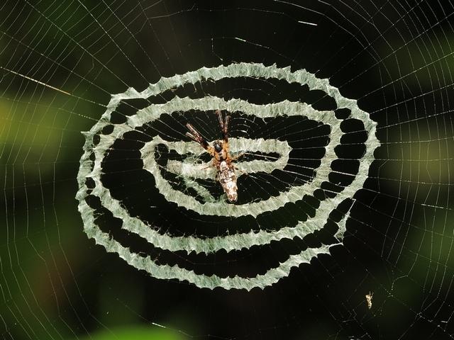 27 ギンナガゴミグモ