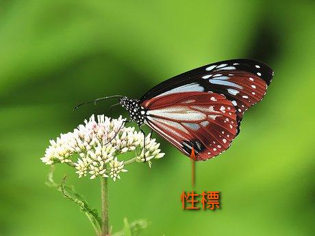 Asagimadara100731_4