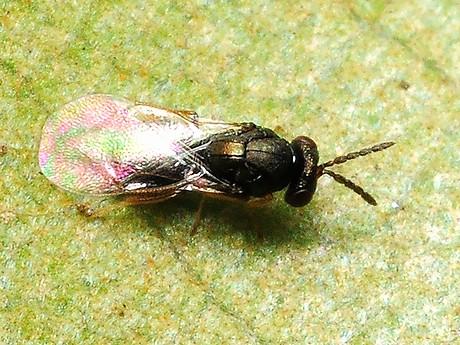Tetrastichinae120311_1