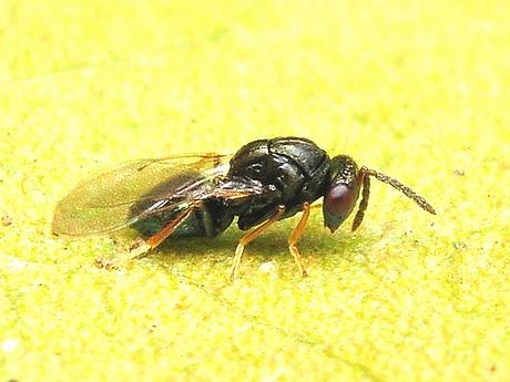 Tetrastichinae120311_2