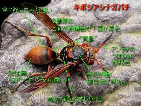 Kibosiasinagabachi121121_4