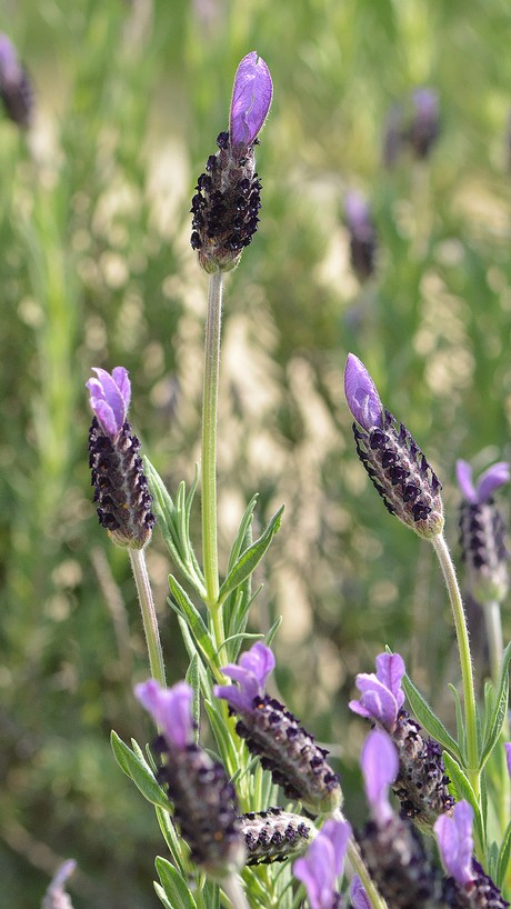 French_lavender_140426_1