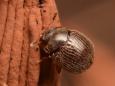 285 マルヒメキノコムシ