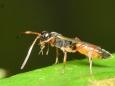 5521 ヒメバチ科トガリヒメバチ亜科の一種