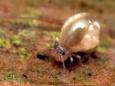 27 マルトビムシの一種