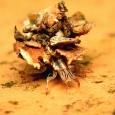 137 ヨツボシクサカゲロウ(幼虫)