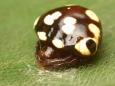278 アカイロトリノフンダマシ(黒色型)